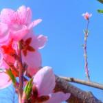 """Das Foto:""""Pfirsichbaumblüte"""" ist von Susann Schulz."""