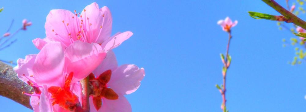 """Ausschnitt eines Fotos:""""Pfirsichbaumblüte"""" von Susann Schulz."""