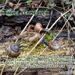 Schnirkelschnecken - Die Schnirkelschnecken necken sich - und schwärmen von Orgien am Waldesrand - wo man trunken vor Liebe die feuchten Leiber - mit Schnirkelschneckenschleim verband. - Autorin: Liane Fehler