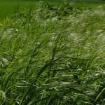 Foto Gras von Susann Schulz