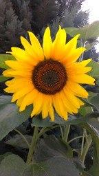 Foto einer Sonnenblume von Antje Sadig
