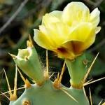 kaktus-gelbe-bluete-k Kaktus gelbe-Blüte: http://quarknet.de/exotische-pflanzen.php